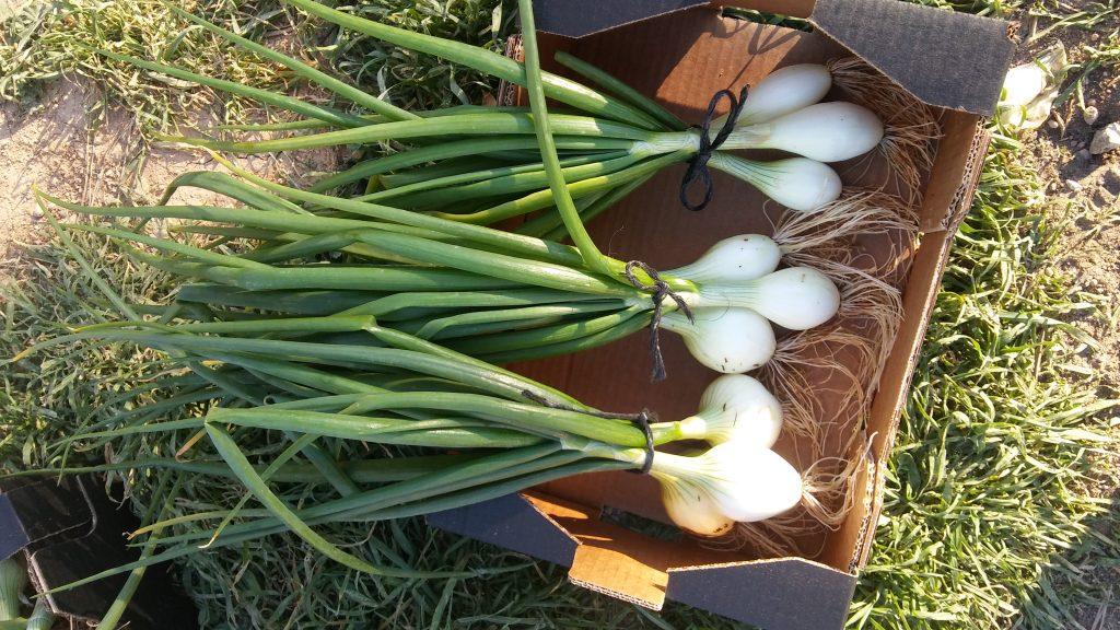 cebolla tierna ecológica bio-lobrot 2